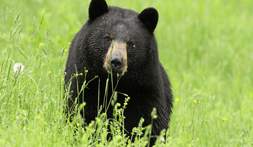 In Recent Years Black Bear Sightings Have Been Progressing Farther West