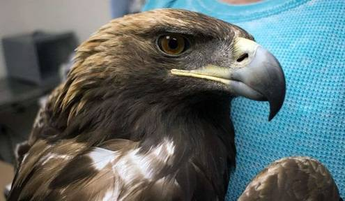 Golden Eagle Found Shot & Robbed of Its Tail Feathers