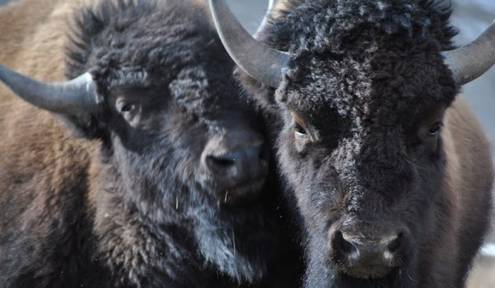 Conservationists Blast USFWS Denial of Yellowstone Bison Protection